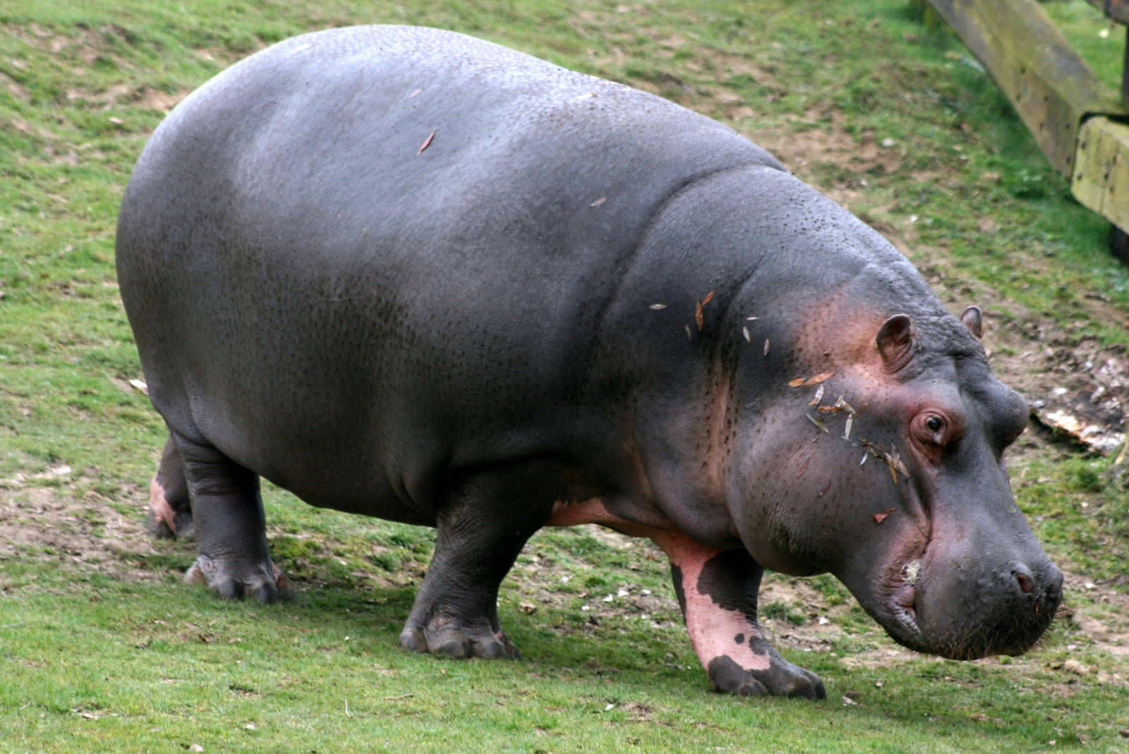Hippopotamus - 10 photo