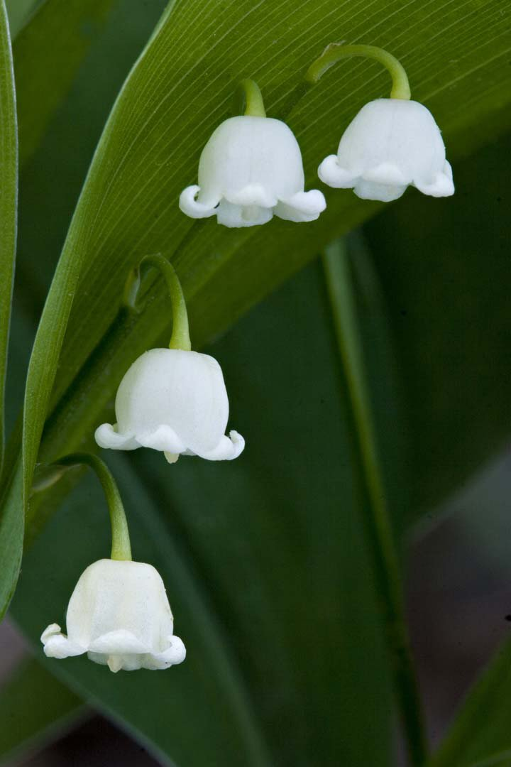 Lily of the valley - 01 photo