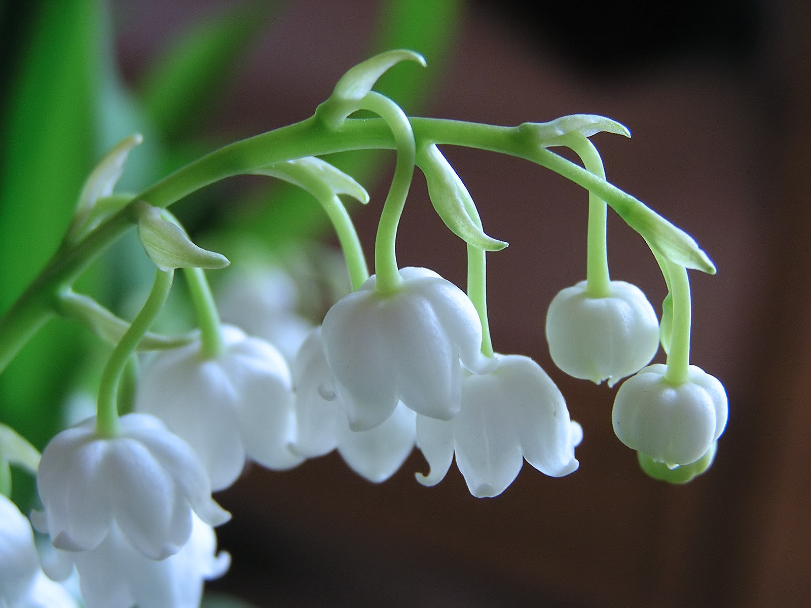 Lily of the valley - 02 photo