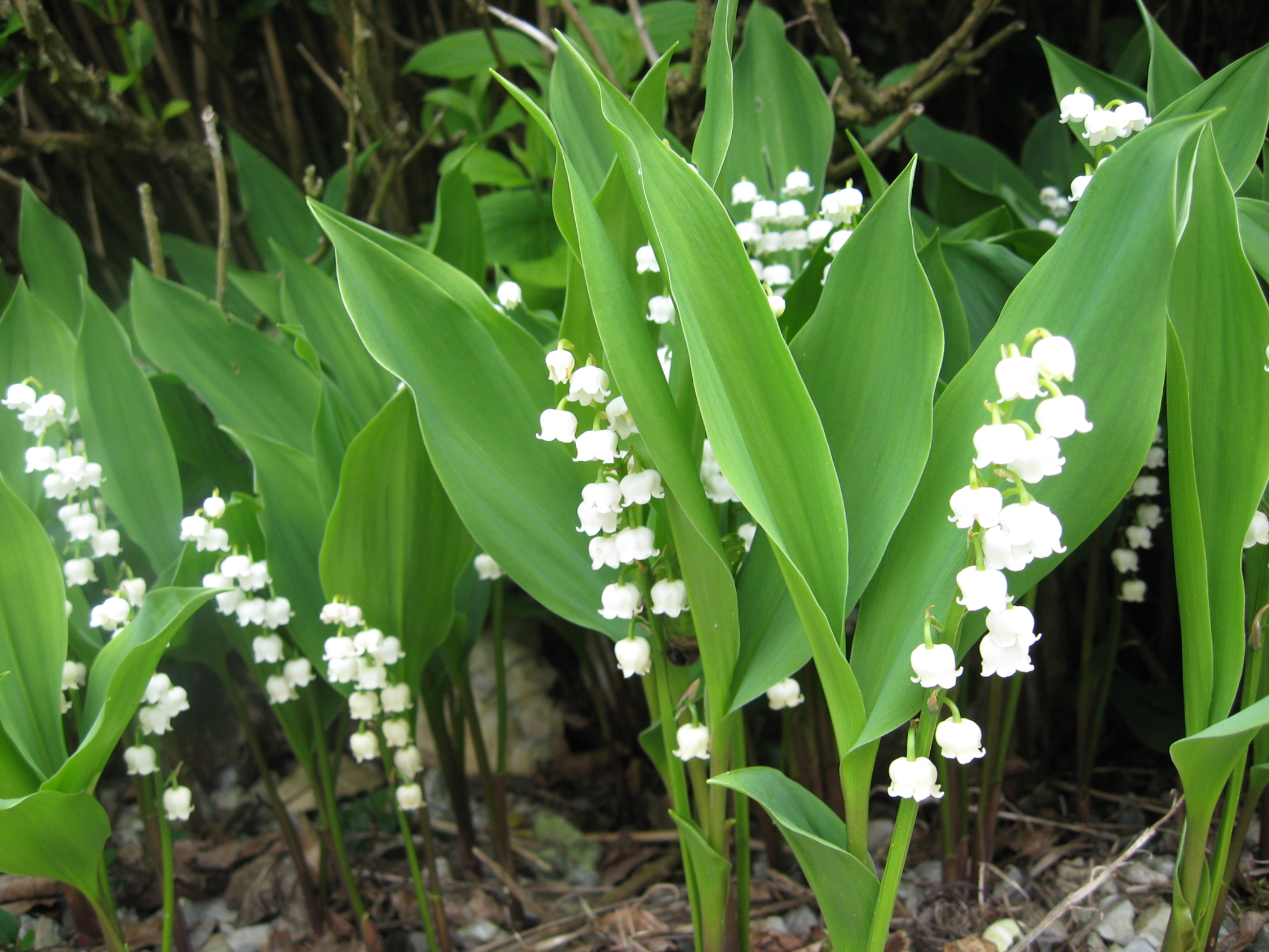 Lily of the valley - 03 photo