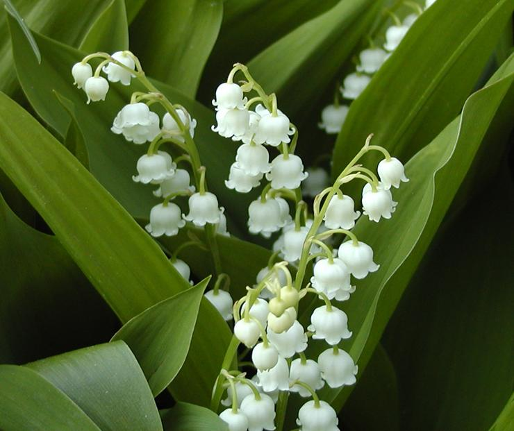 Lily of the valley - 04 photo