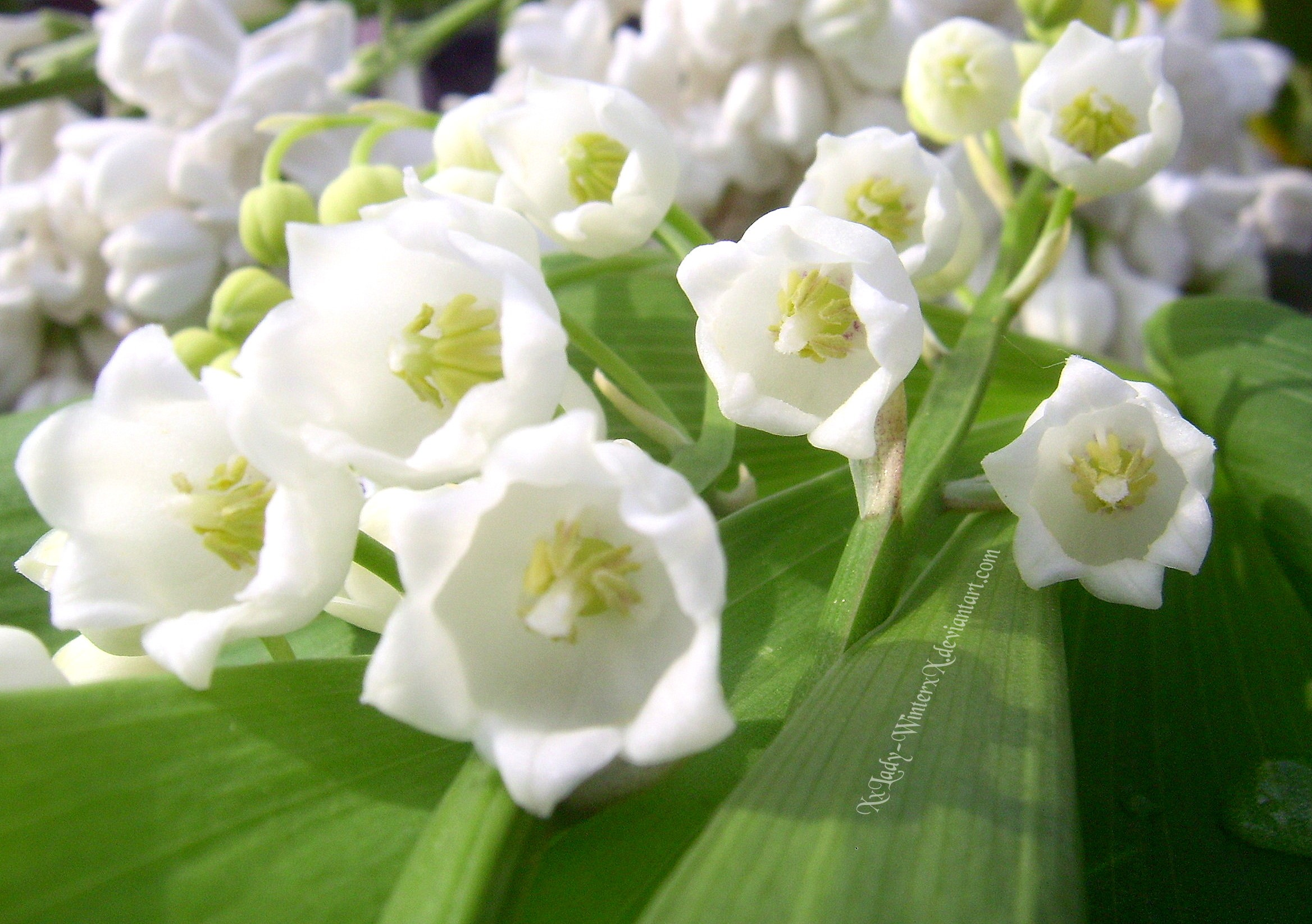 Lily of the valley - 05 photo
