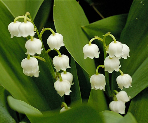 Lily of the valley - 06 photo