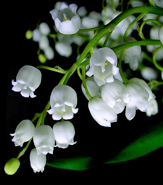 Lily of the valley - 09 photo