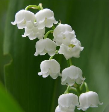 Lily of the valley - 10 photo