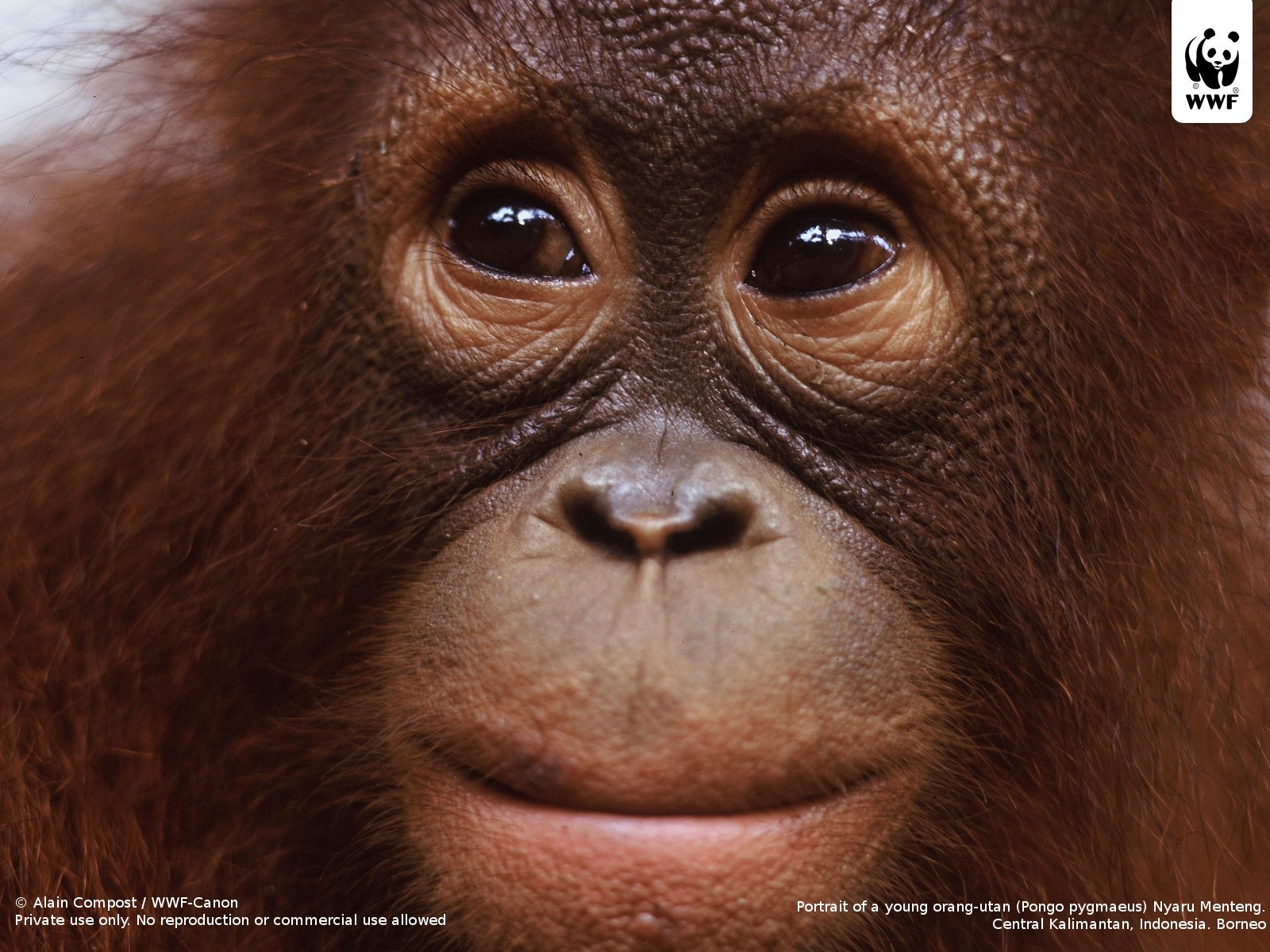 Orangutan - 03 photo