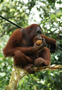 Orangutan - 04 photo
