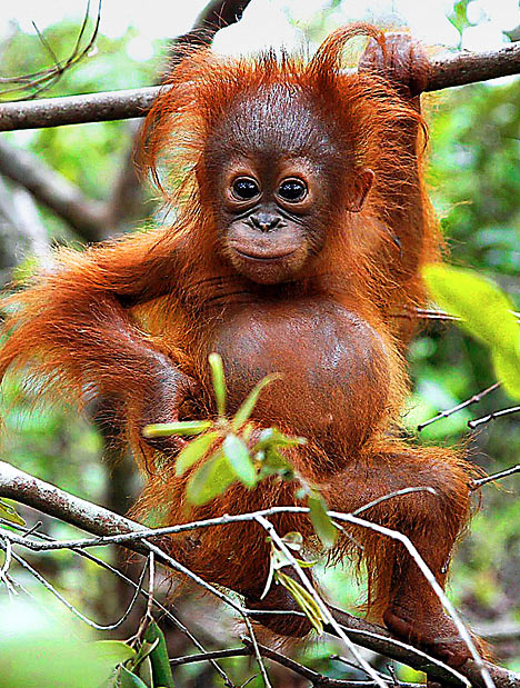 Orangutan - 05 photo