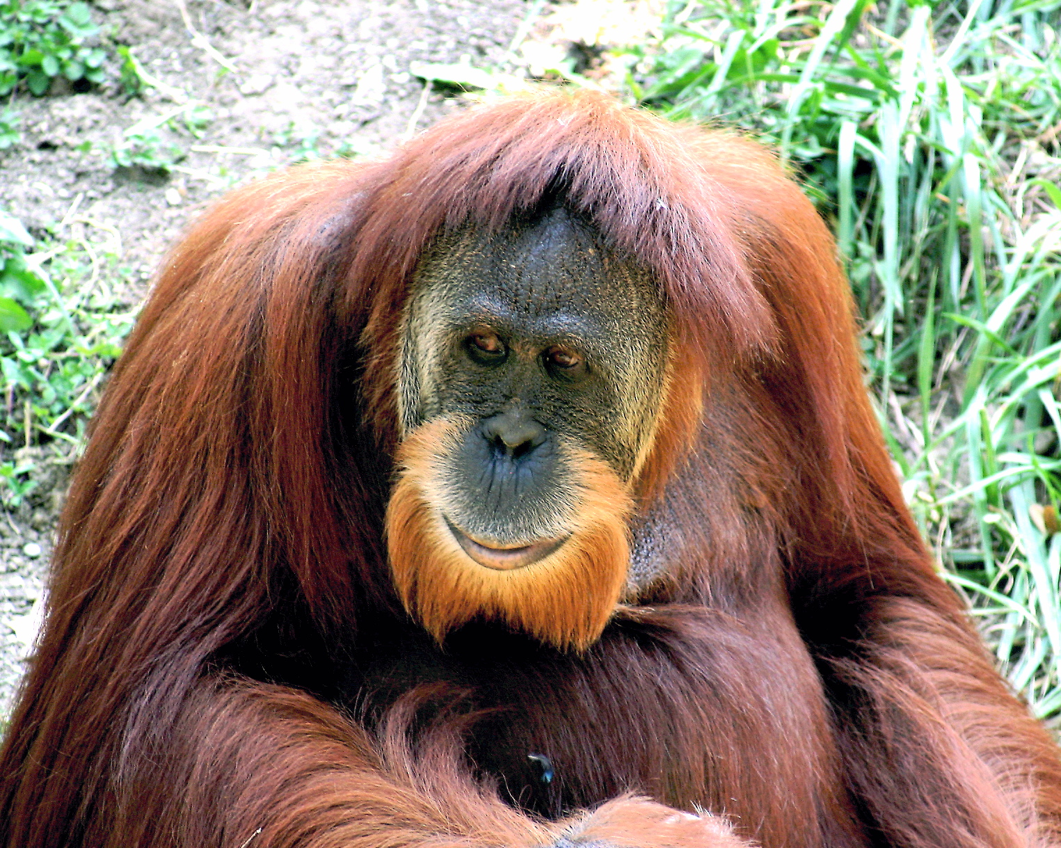 Orangutan - 06 photo