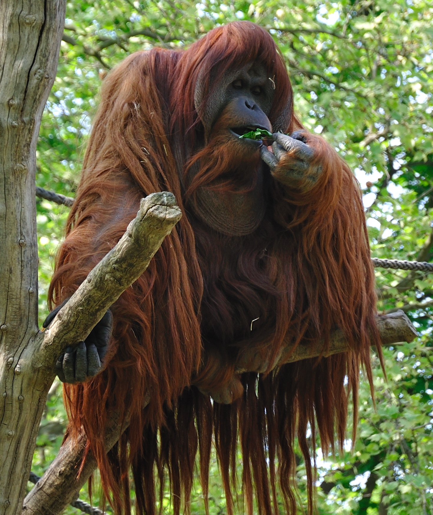 Orangutan - 07 photo