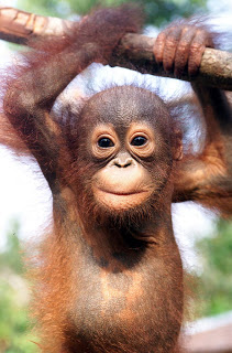 Orangutan - 08 photo