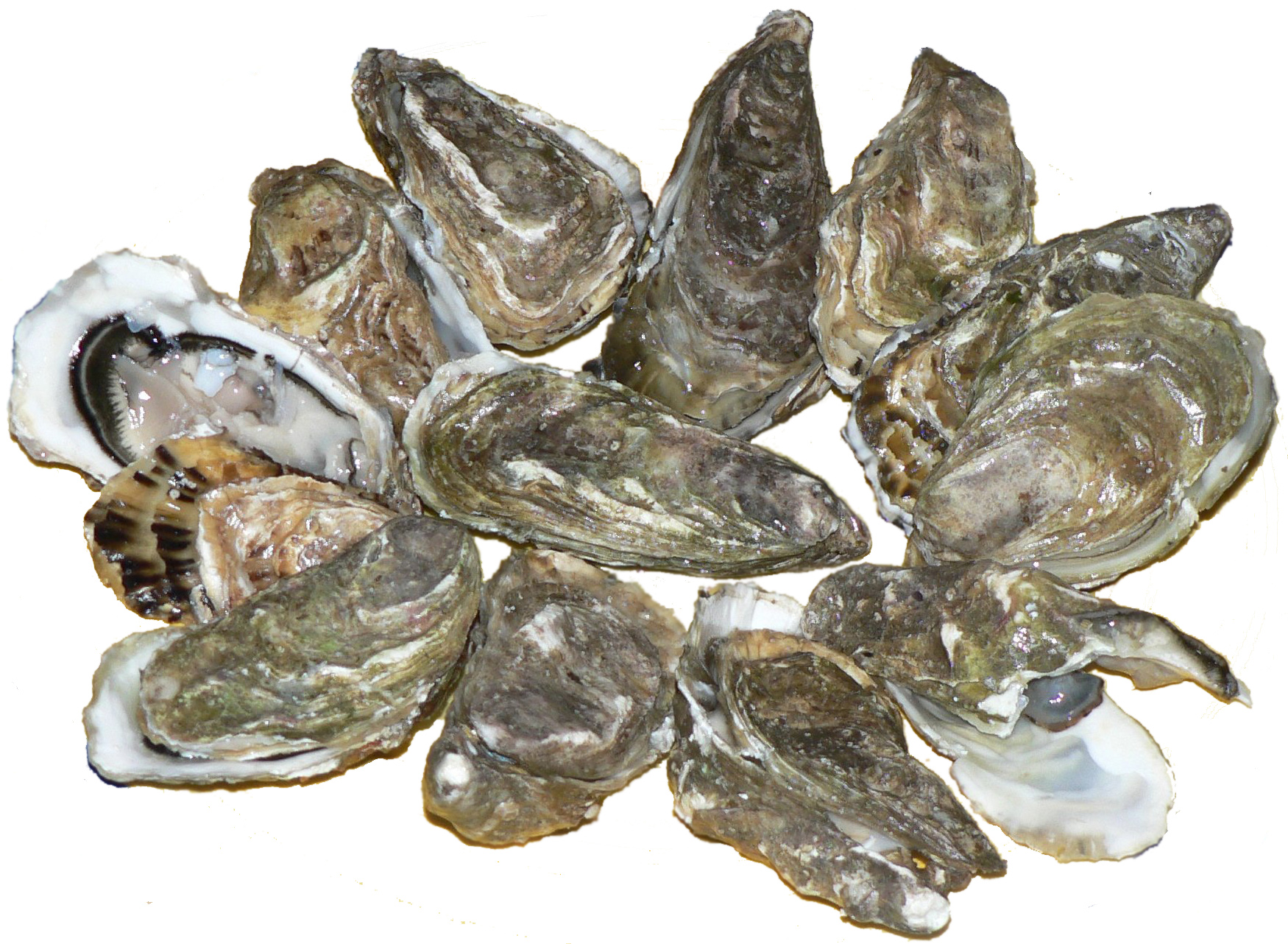 Oysters - 08 photo