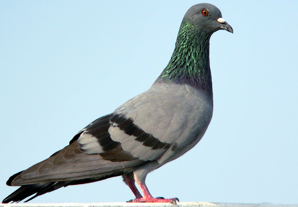 Pigeon - 01 photo