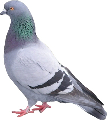 Pigeon - 02 photo
