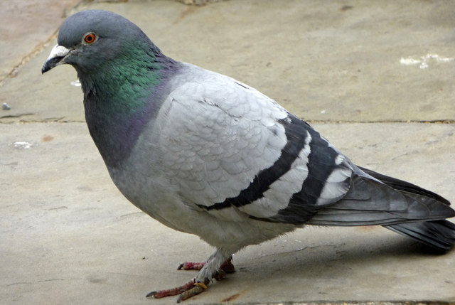 Pigeon - 10 photo