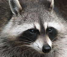 Raccoon - 01 photo