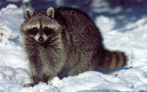 Raccoon - 02 photo