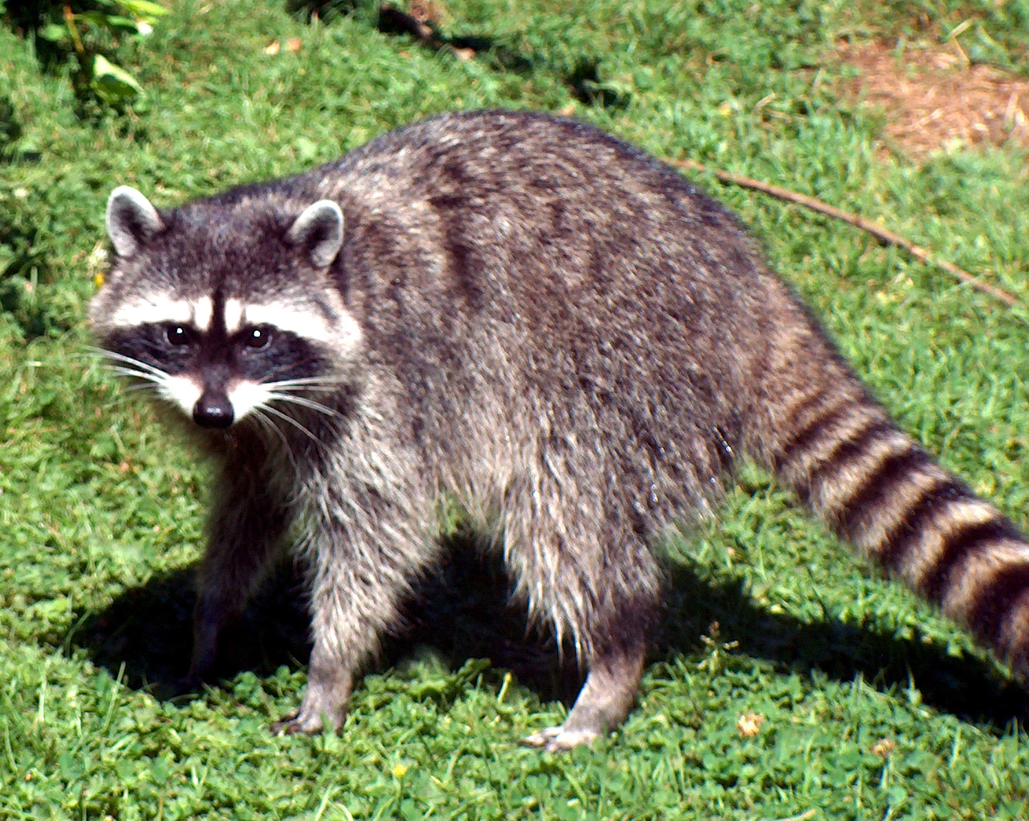 Raccoon - 03 photo