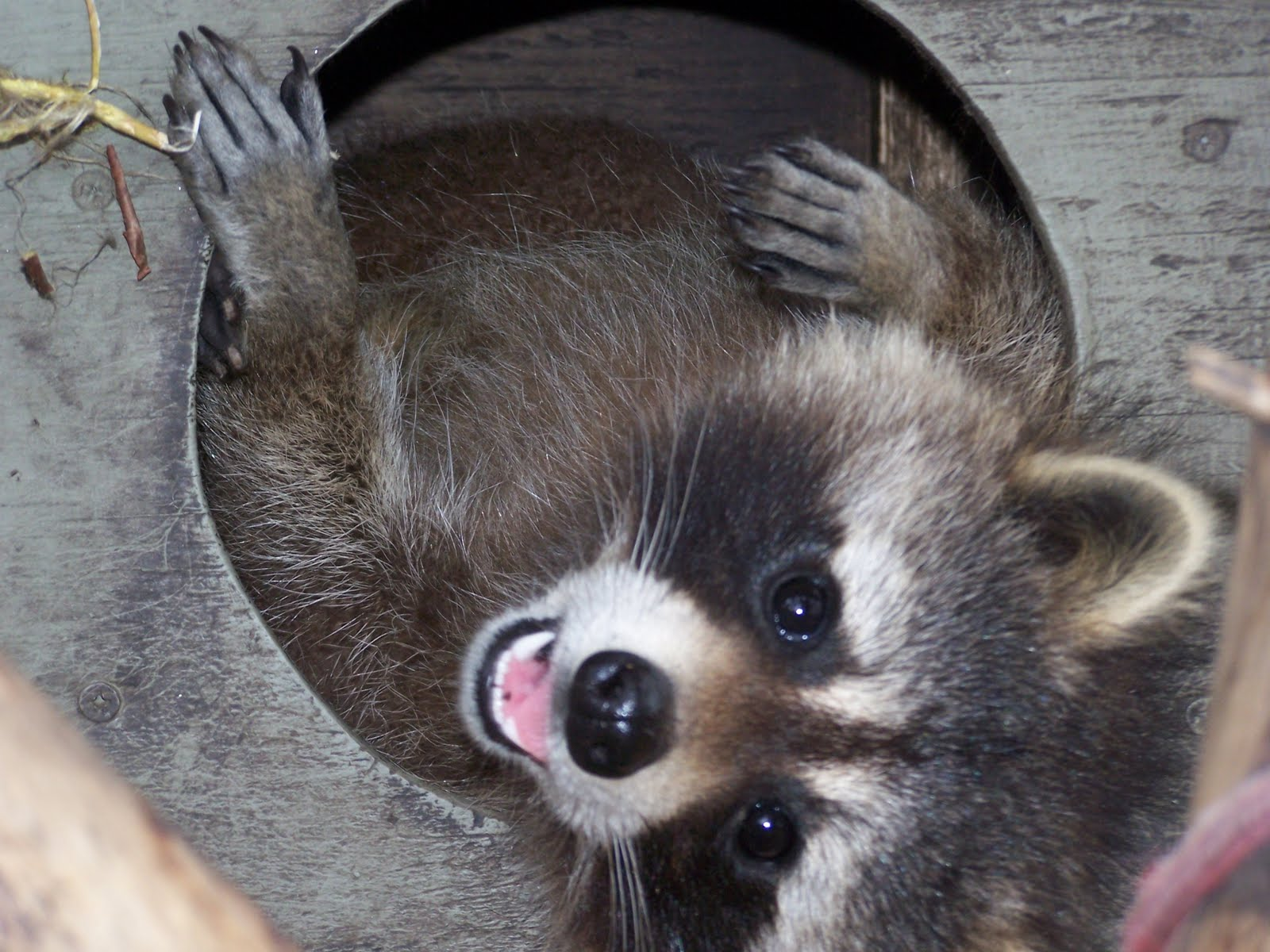 Raccoon - 04 photo