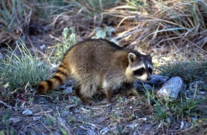 Raccoon - 05 photo