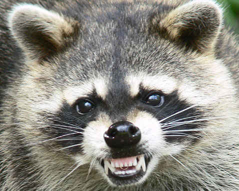 Raccoon - 06 photo