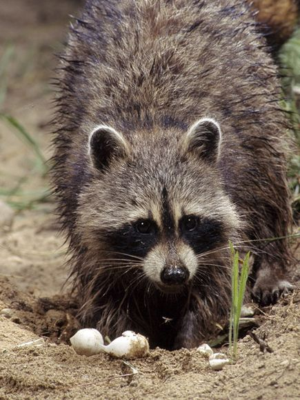 Raccoon - 07 photo