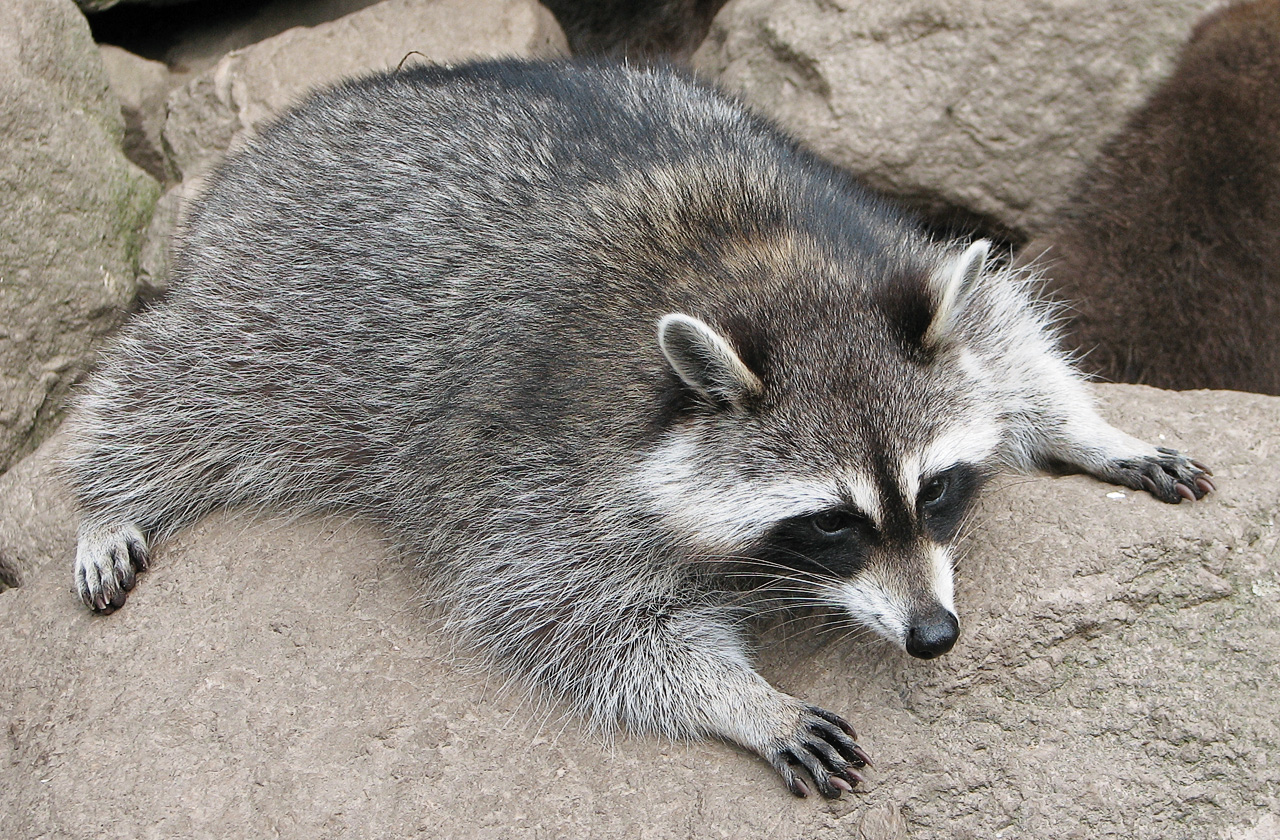 Raccoon - 08 photo