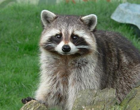 Raccoon - 10 photo