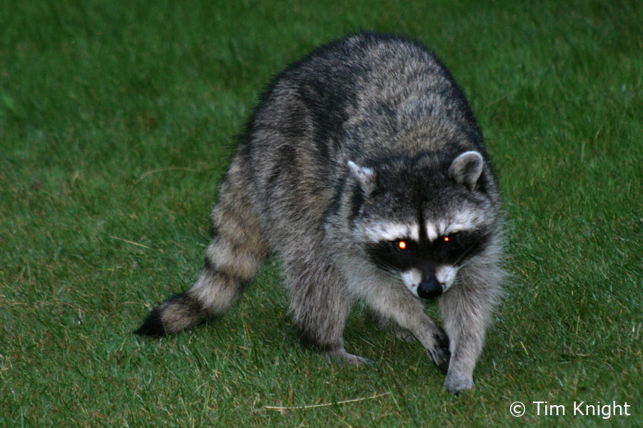 Raccoon - 11 photo