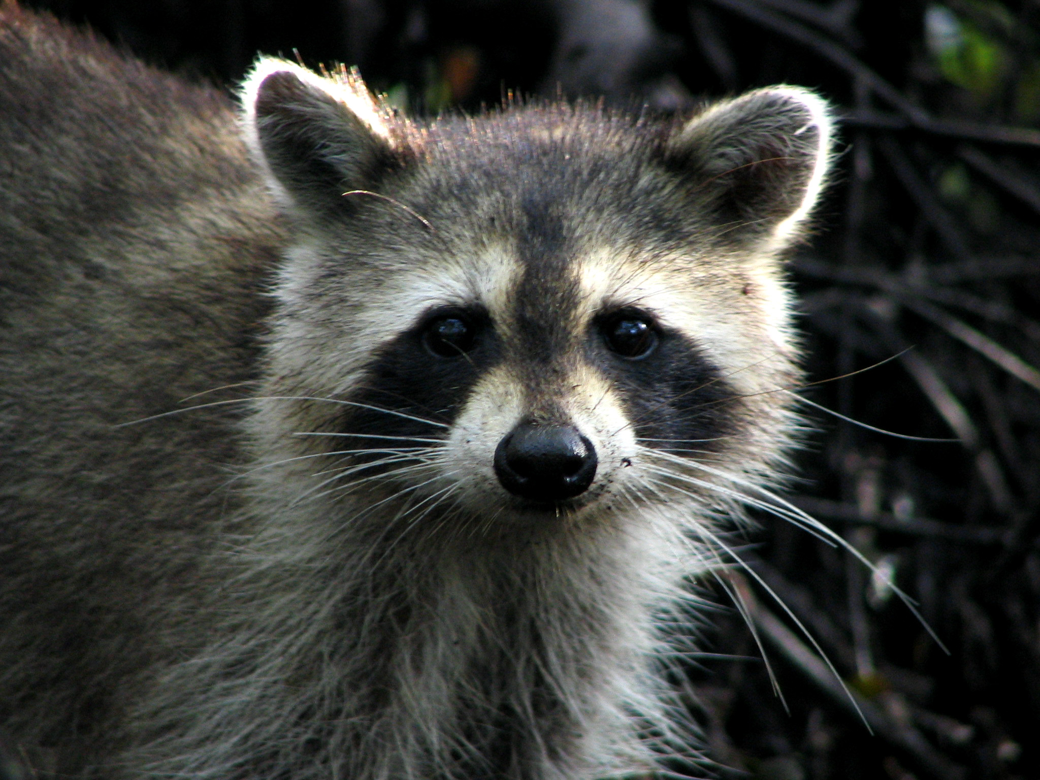 Raccoon - 12 photo