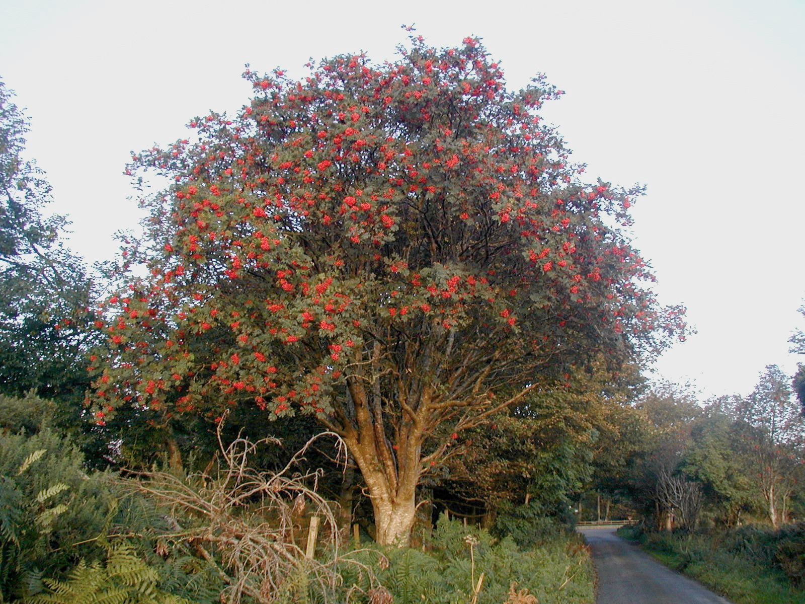 Rowan tree - 02 photo