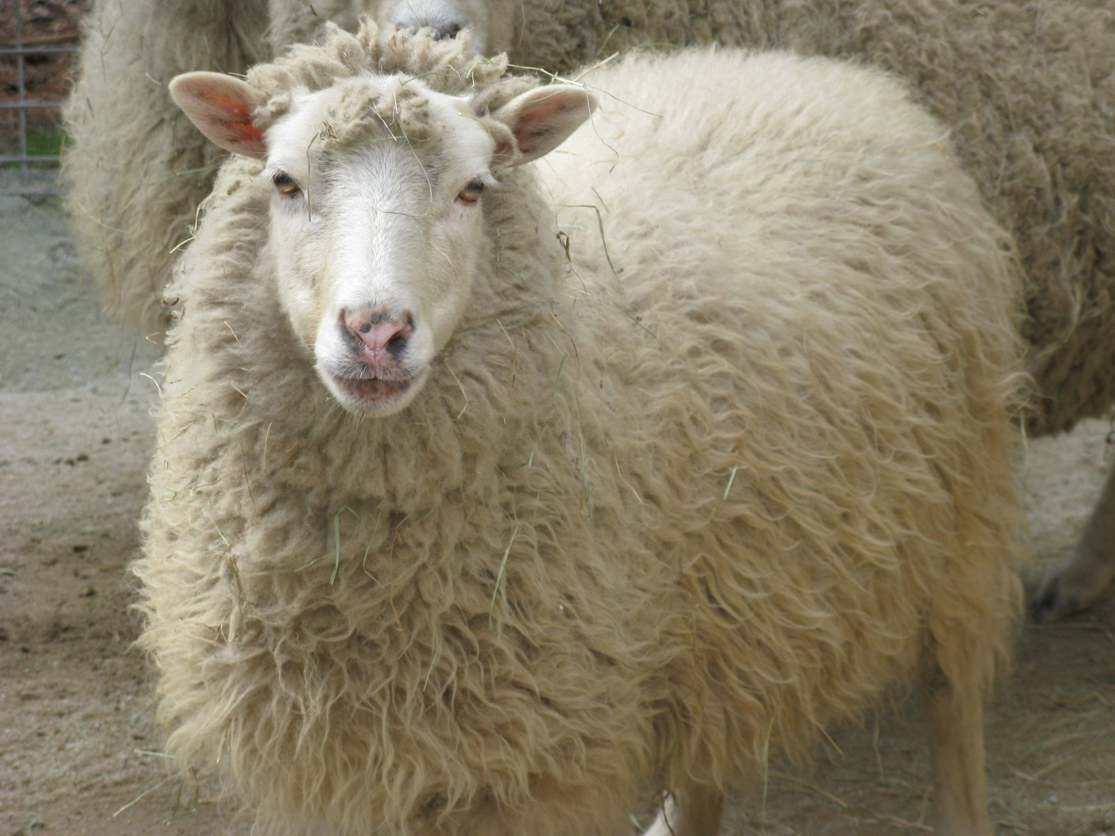 Sheep - 05 photo