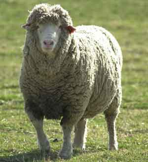 Sheep - 06 photo