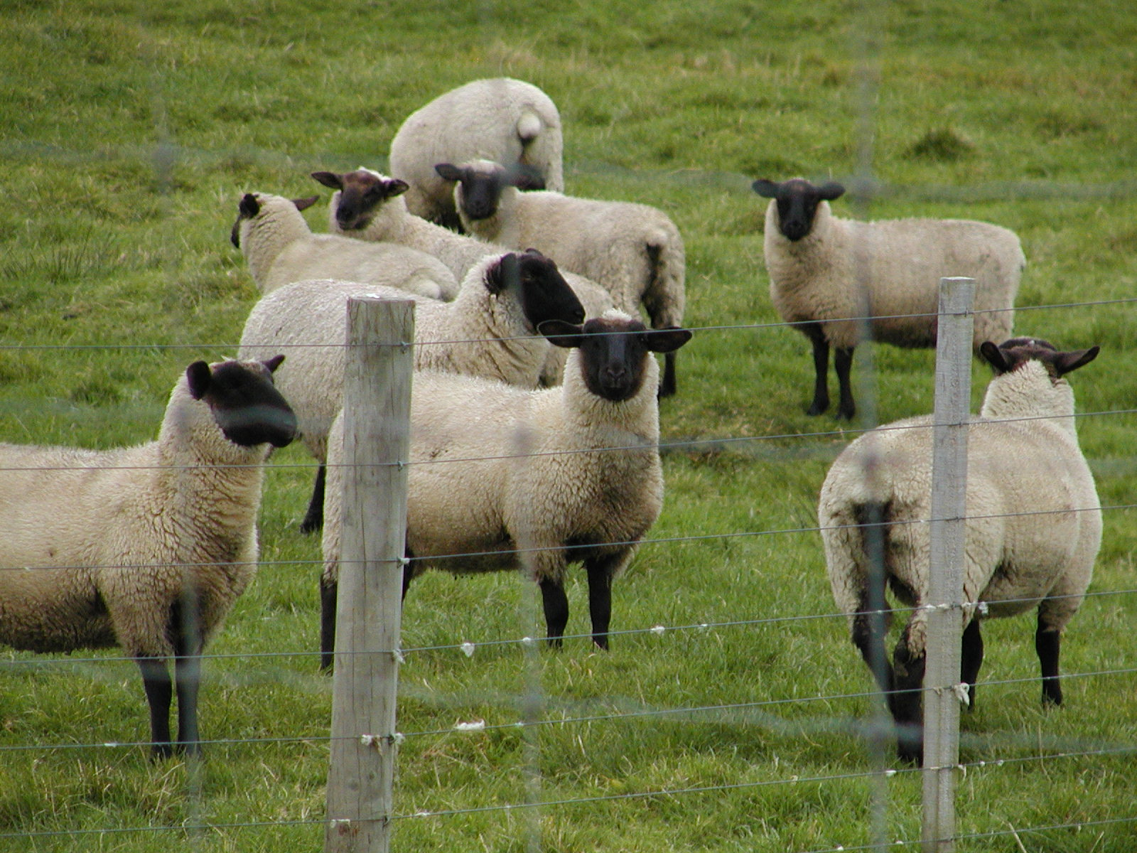Sheep - 08 photo