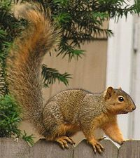 Squirrel - 02 photo