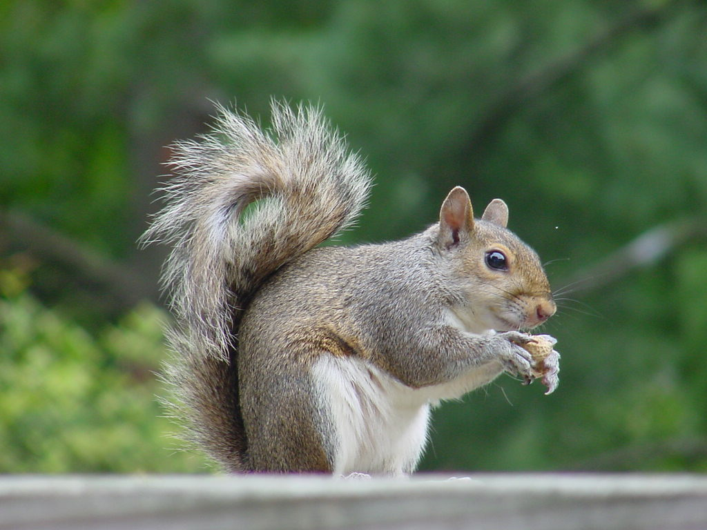 Squirrel - 03 photo