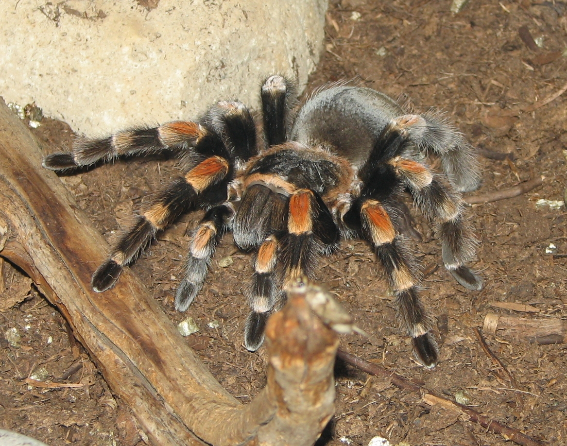 Tarantula - 02 photo