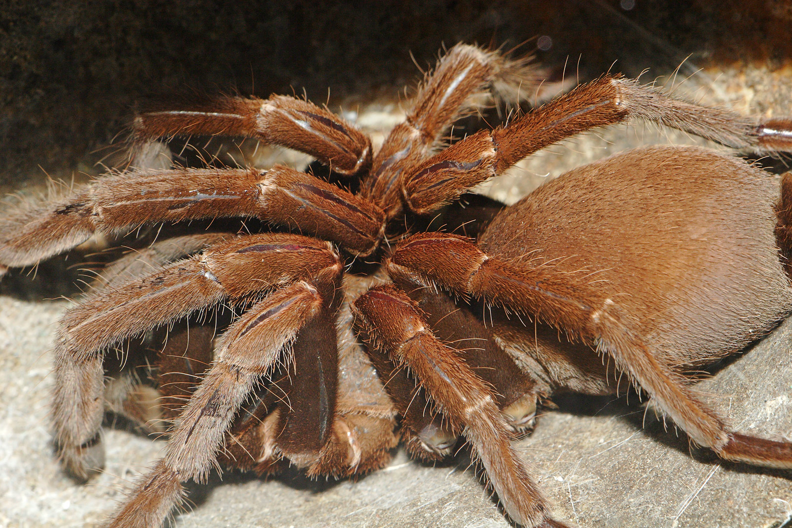 Tarantula - 03 photo