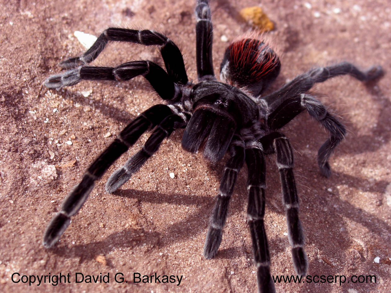 Tarantula - 05 photo