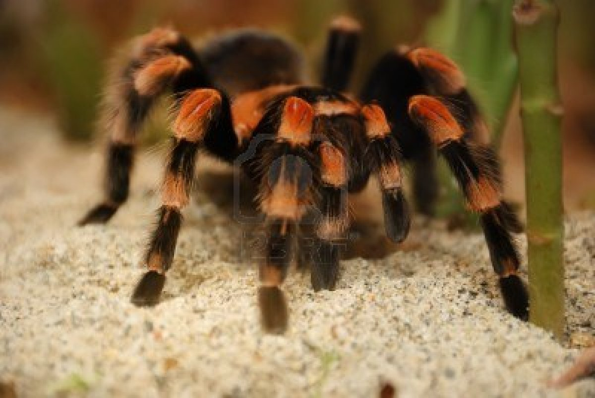 Tarantula - 08 photo