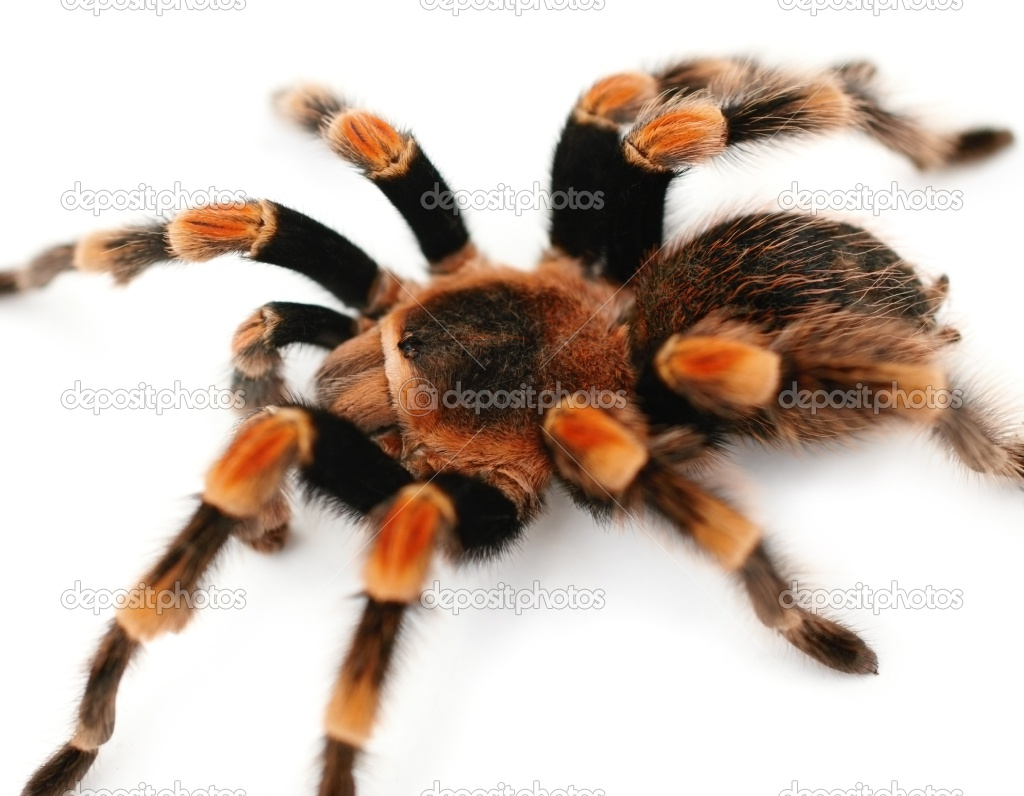 Tarantula - 12 photo